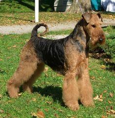 Google-Ergebnis für http://www.airedale-terrier-helser-born.de/CIMG2797_daika_Tulln_3.jpg