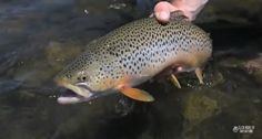 Catch an insect hatch for Montana fly fishing with a bit of luck and skill.