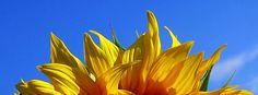 Sonnenblume / Sunflower (Facebook Timeline cover)