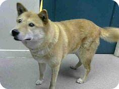 Pasadena, CA - Jindo. Meet A368656, a dog for adoption. http://www.adoptapet.com/pet/11980927-pasadena-california-jindo