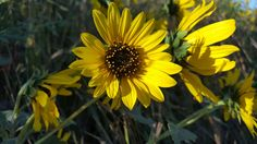 Beautiful flowers. Alongside I-80 near Lincoln, NE.