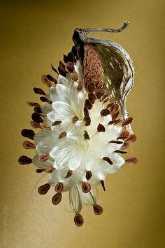 Milkweed Seedpod | Asclepias syriaca seedpod just starting t… | Flickr