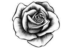A drawing of a rose