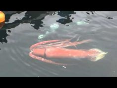 Giant squid guided back to sea by diver after swimming into Japanese harbour - ABC News (Australian Broadcasting Corporation)