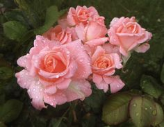 roses .Автор Н. Якимчук.