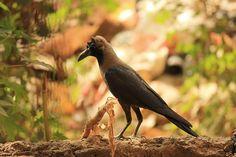 Gratis bild på Pixabay - Kråka, Raven, Fågel, Svart