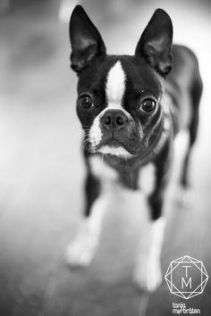 Boston Terrier, Balder