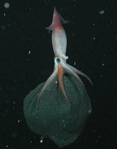 A mother squid brooding her squidlets...A rarely observed event. I can't think of anything more alien in appearence.