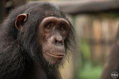 Yabien, very sweet chimpansee