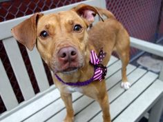 SPUDZ - A1037081 - Manhattan - Publicly Adoptable TO BE DESTROYED 06/01/15 – A volunteer writes: So quiet in her upper kennel all day, each time I passed I thought to myself, 'what a quiet, cute puppy'. Imagine my surprise when I finally met her to learn that she's estimated to be about 2 years old…..I guess she shrunk in the wash as she's TINY! I lifte her easily out of her kennel and off we go. Peeing as soon as we're out the door tells me she's likely housetrained, and when she showed me…