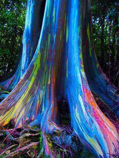 Rainbow Eucalyptus tree.  It really looks like this.  beautiful