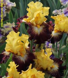 'Stole The Show' (Thomas Johnson, R. 2013). Sdlg. TB30C. TB, 33 (84 cm), Midseason bloom. Standards bright mid yellow; style arms yellow, buff brushed crests; Falls darkest mahogany, white sunbursts that bleed into yellow at edges and lined dark mahogany; beards yellow; slight fragrance. 'Snapshot' X 'Guardian Angel'. Mid-America 2013.