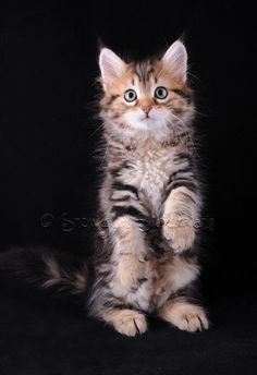 Available Siberian Kittens Sydney Kittens And Puppies, Cute Cats And Kittens, I Love Cats, Crazy Cats, Cool Cats, Kittens Cutest, Siberian Forest Cat, Chat Maine Coon, Siberian Kittens