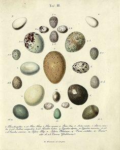 Image from the 5-volume series, 'Die Eier der Vögel Deutschlands und der benachbarten Länder in naturgetreuen Abbildungen und Beschreibungen' by Johann Friedrich Naumann, 1818, at the Center for Retrospective Digitization, Göttingen (GDZ).