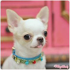 This has to be the girliest chi ever!!! I wants!!!! Or maybe he's a girly boy! Oh max is so lucky he's not a girl I would have his toe nails painted and a blingy collar! Thank you JC! Xoxoox