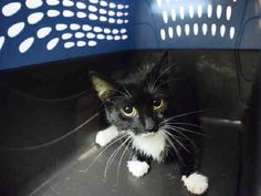 """LINGUINI - A1075376 - - Staten Island  Please Share:   ***TO BE DESTROYED 06/02/16*** LINGUINI AND PAL SPAGHETTI ( CURRENTLY IN – UNKNOWN STATUS-) WERE BROUGHT IN AS STRAYS. AND NOW, FEAR HAS GIVEN LINGUINI A RESCUE ONLY RATING! The 2 year old is scared and does not even want to be handled. A NEW HOPE RESCUE needs to step in her only """"HOPE"""" at this point. But they need a FOSTER or ADOPTER to STEP in! Contact a New Hope rescue and give this girl (and SPAGHE"""