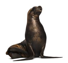 Find California Sea Lion 17 Years Old stock images in HD and millions of other royalty-free stock photos, illustrations and vectors in the Shutterstock collection. Lion Facts, Lion Illustration, Elephant Seal, Ocean Life, Animal Kingdom, Dolphins, Mammals, Wildlife, Cute Animals