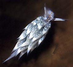 The Sea Slug Forum - Costasiella kuroshimae