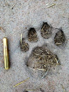 Male lion track and .458 ammo, that's a big boy. Ruaha national park, Tanapa walking safari training