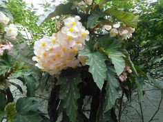Detalle begonia arbustiva.