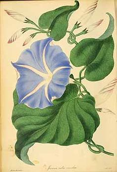 188977 Ipomoea tricolor Cav. [as Ipomoea rubrocaerulea Hook.] / Magazine of botany and register of flowering plants [J. Paxton], vol. 3: p. 99 (1839) [S. Holden]