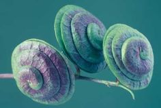 """Fruits Of Wild Lucerne"" Fine Art Print © Nuridsany et Perennou/Science Source Framed Wall Art, Framed Prints, Spirals In Nature, Singular, Science Photos, Lucerne, Unique Wall Art, Seed Pods, Buy Prints"