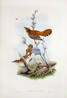 Aedon Galactodes - Rufous Sedge Warbler from John Gould Lithographs of Swallows, Swifts, Kingfisher, Goldfinch, Robin & Roller Bird Illustration, Botanical Illustration, Flora, John Gould, Bird Book, Nature Artists, Decoupage Art, Bird Drawings, Vintage Birds
