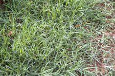 ¿Por qué elegir la grama? - http://www.jardineriaon.com/por-que-elegir-la-grama.html #plantas