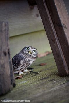 """Who...Me?""  A tiny british Little Owl peaks out from behind a log"
