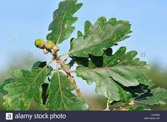 sessile-durmast-oak-quercus-petraea-quercus-sessiliflora-acorns-and-C0YW00.jpg (1300×955)