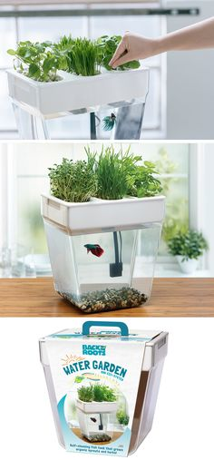 This home aquaponics fish tank cleans itself and grows organic sprouts and herbs!