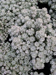 Lomandra, Silver Plant, Daisy Field, Snow In Summer
