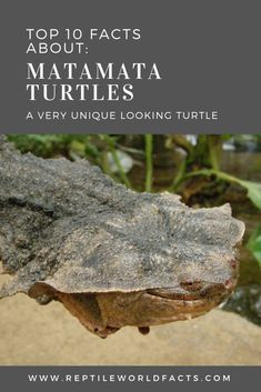 The Matamata turtle is a very unique looking animal, with a just as unique way of eating. Want to learn more about the Matamata Turtle (Chelus Fimbriata)? Click the photo to go to the article and learn more. Types Of Turtles, Turtle Facts, Reptiles, Lizards, Hello Everyone, Cute Animals, Articles, Wildlife, Unique