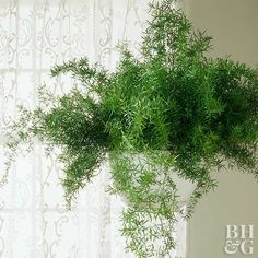 Fern Asparagus Fern - My Mom had one of these for YEARS and it made it thru numerous moves.Asparagus Fern - My Mom had one of these for YEARS and it made it thru numerous moves. Asparagus Fern Care, Indoor Garden, Indoor Plants, Indoor Ferns, Fern Care Indoor, Patio Plants, Diy Plante, Ferns Care, Side Yards