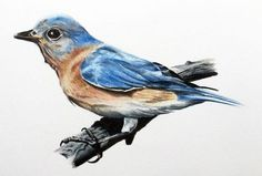 How to draw a realistic bird with colored pencils