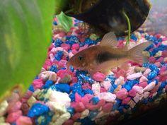 Emerald Green, Green And Gold, Community Fish Tank, Aquarium Catfish, Home Aquarium, All Fish, Cats For Sale, Beautiful Fish, Aquatic Plants