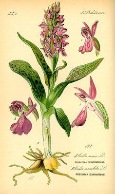 Flora von Deutschland Österreich und der Schweiz (1885) Orchis/Anacamptis Morio                                                                                                                                                                                 Mehr