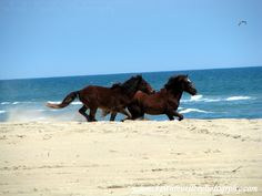 horses corolla nc | Wild Horses running on a North Carolina Beach - Canon Digital ...