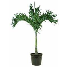 Plantas e Flores - de crescimento vertical, e se expande no topo, assim é o Elemento Árvore - www.alinemendes.com.br Bonsai, Feng Shui, Vertical, Palm Plants, Sock, Plants, Bonsai Plants
