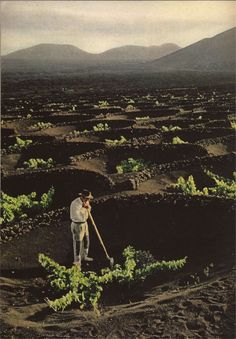 Man-made craters, scooped out of granular lava cinders, shelter grapevines. - National Geographic, 1969.