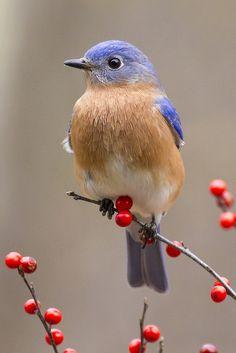 Bluebird on red berries (Sialia sialis) Cute Birds, Small Birds, Pretty Birds, Little Birds, Colorful Birds, Beautiful Birds, Animals Beautiful, Yellow Birds, Funny Birds