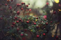 Red Berries and Raindrops  8x12 Fine Art by kameronelisabeth
