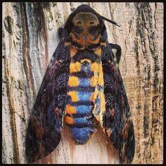 Testa di morto Macro bug Foto DANIELA Libralon Campolasalza-Massello