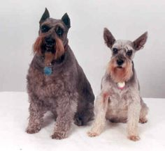 :) Wolfgang and MillyWilly -- our first 2 babies; gotta love those ears! -by pinner! Schnauzers <3