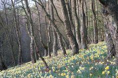 Farndale Daffodil Walk, Yorkshire