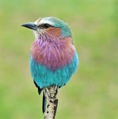 Lilac-breasted Roller - Bing images