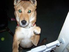 Smokey Joe is an adoptable Shiba Inu Dog in Toms River, NJ. Smokey Joe is back with the Shiba Rescue. His last adopter became very ill and could not care for Joe anymore. Joe is a Shiba Inu mix, estim...