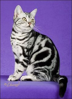 silver american shorthair kittens - Google Search