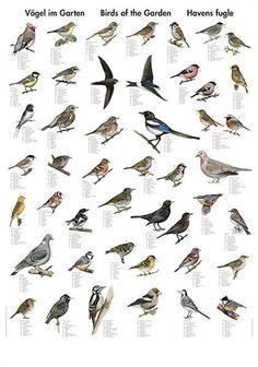 Havens fugle plakat | Flot plakat med 40 af havens fugle