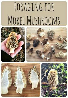 Morel mushrooms are fun to forage for and super tasty to eat!